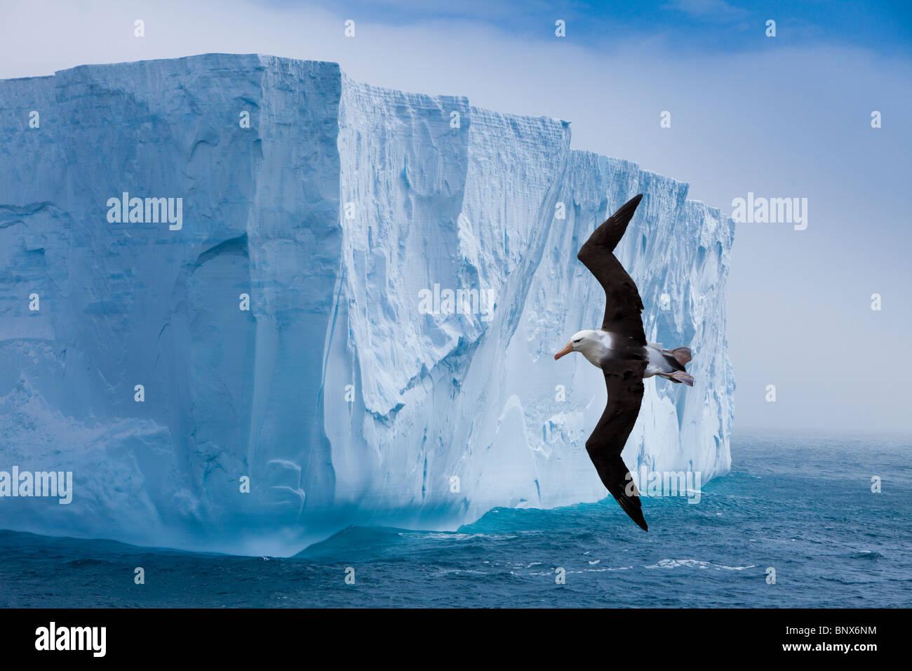 Black-browed Albatros fliegen vorbei Eisberg, Antarktis Stockbild