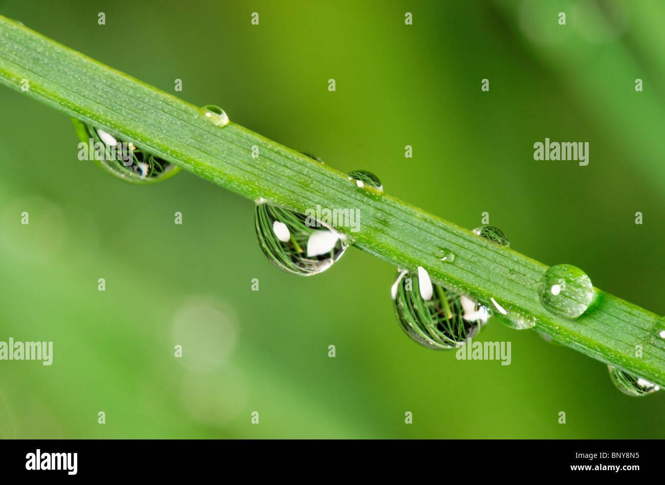 Wassertropfen auf Schnittlauch. Stockbild