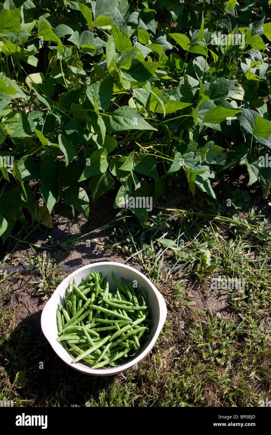 Frisch gepflückte Grüne Bohnen aus dem Gemüsegarten Michigan USA Stockbild