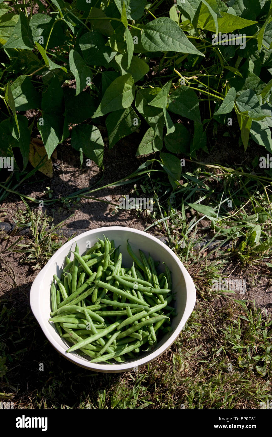 Frisch gepflückte Grüne Bohne (Phaseolus cultivar) im Gemüsegarten, Michigan USA Stockbild