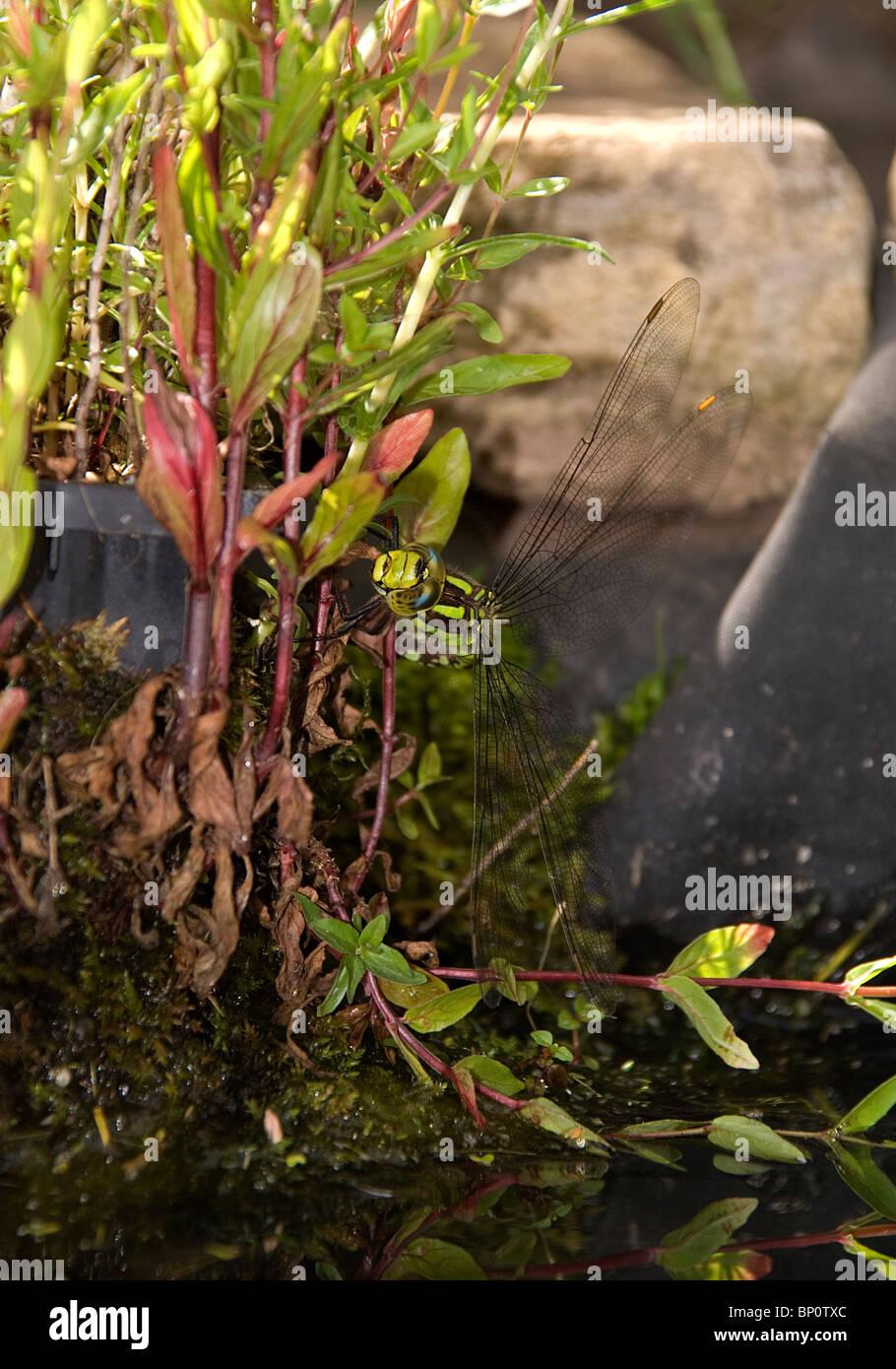 Frau Kaiser Libelle (Anax Imperator) Eiablage in der Basis eine Wasser-Minze Stockbild