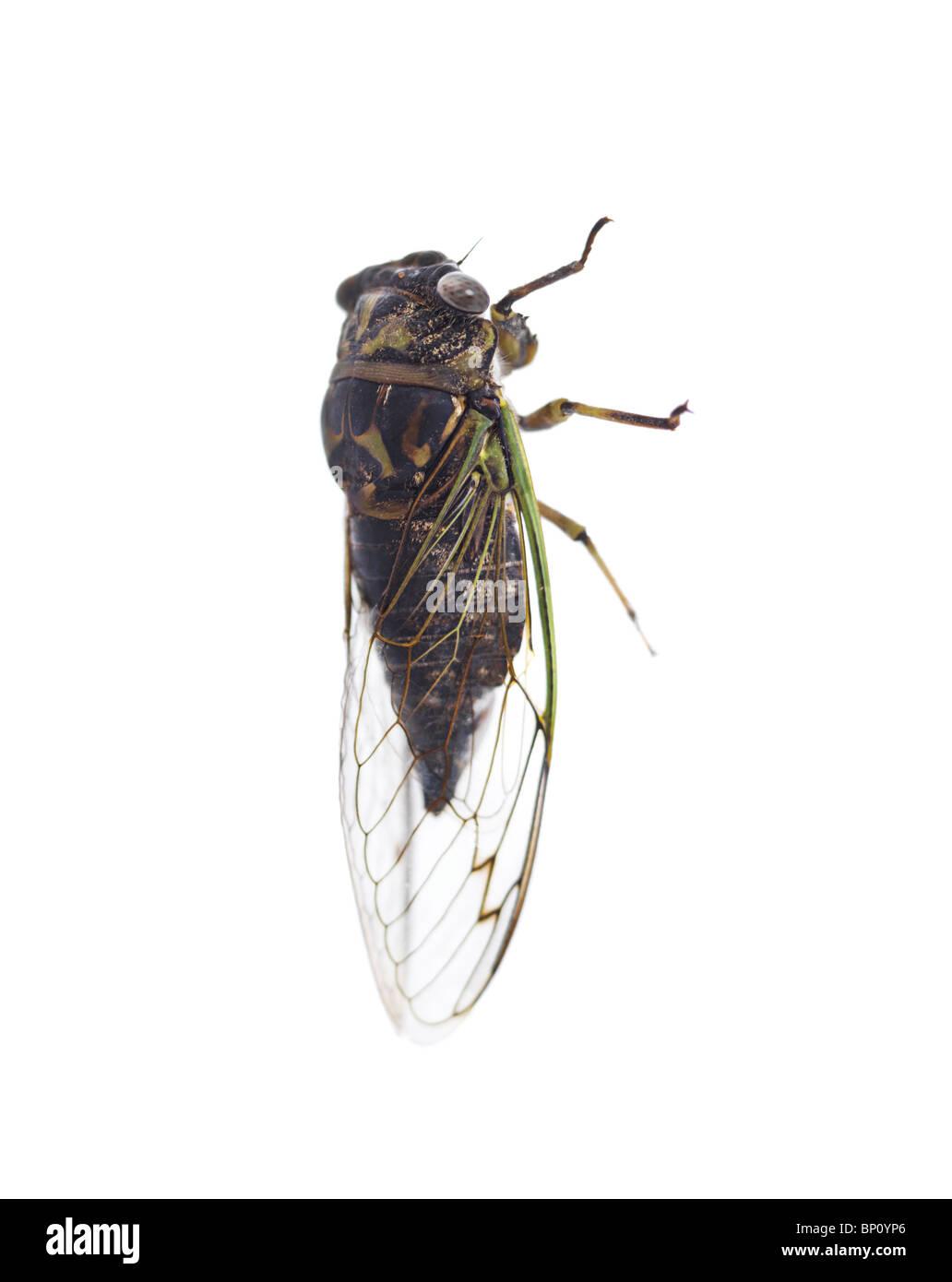 Jährliche Zikade - Tibicen Canicularis isoliert auf weißem Hintergrund. Ontario, Kanada. Stockbild