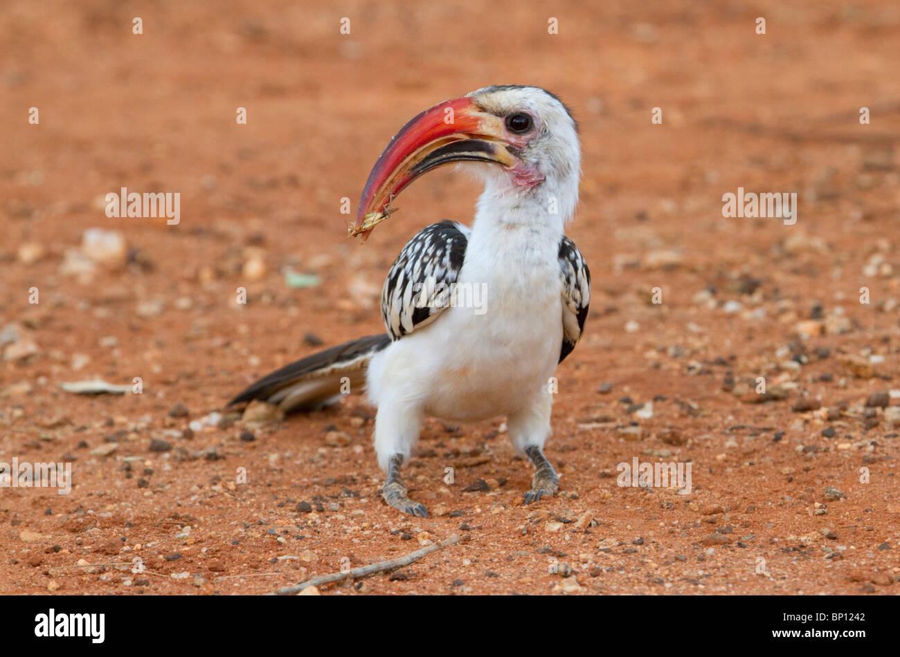 Rot-billed Hornbill (Tockus Erythrorhynchus) mit einer Heuschrecke Stockfoto