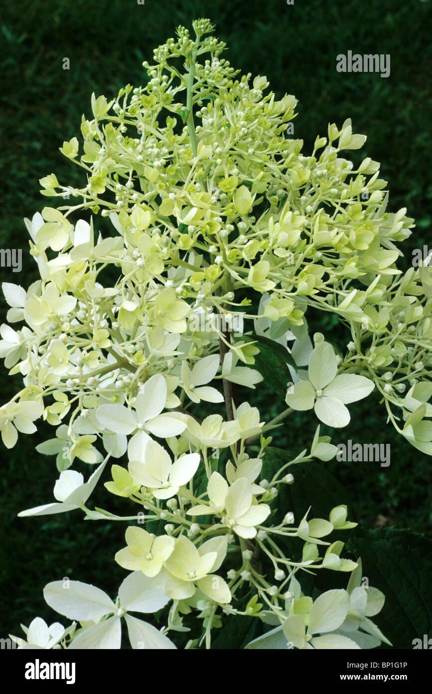 hydrangea paniculata 39 phantom 39 blume blumen garten pflanze pflanzen hortensien stockfoto bild. Black Bedroom Furniture Sets. Home Design Ideas