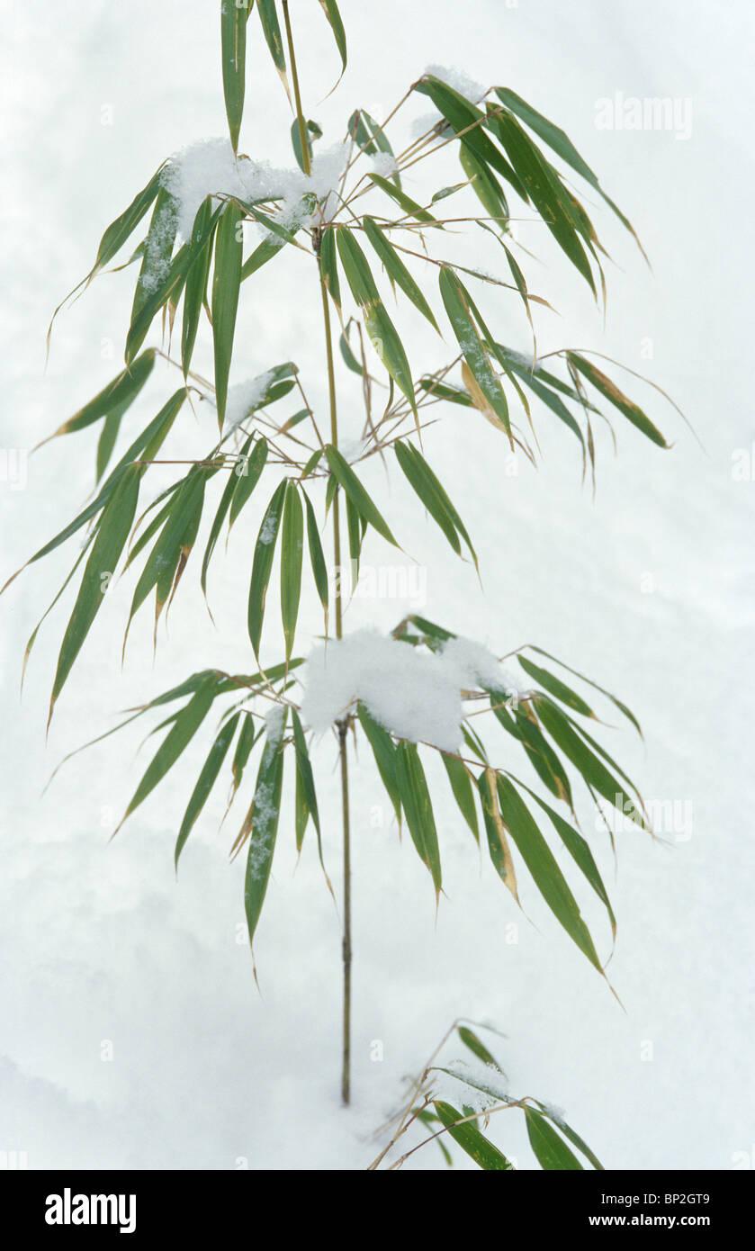 Schnee Auf Dach Bambus Panda Essen Wuyipeng Wolong China Stockfoto