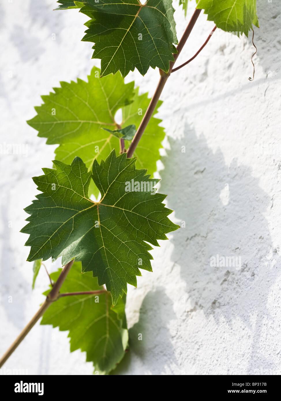 Weinblätter mit Ranke auf weißen Wand Stockbild