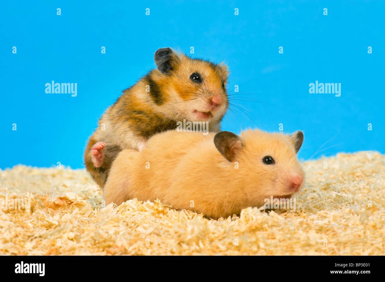 Hamster Sex Bilder