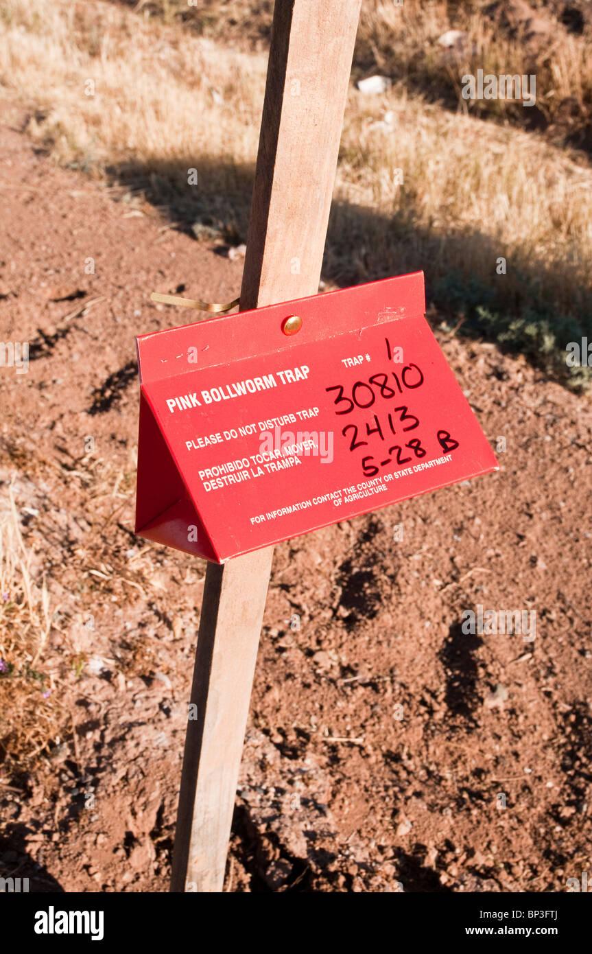 Eine Falle befindet sich in der Nähe von einem Baumwollfeld, das Vorhandensein von rosa Bollworm Motten zu Stockbild