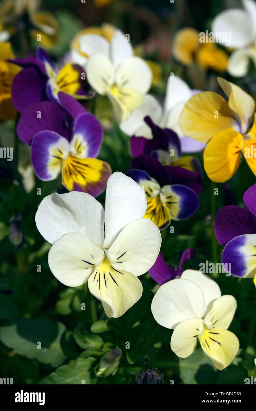 Viola blue bedding plant stockfotos viola blue bedding - Topfpflanzen garten ...