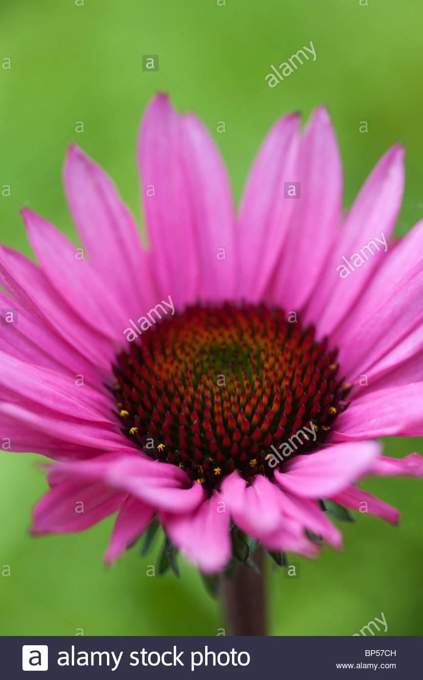 Sonnenhut Echinacea Fatal Attraction Sommer Blume rosa lila Rand mehrjährige August Feriengast Stockbild