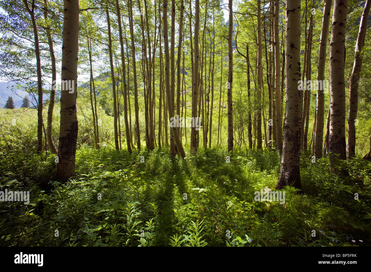 Hinterleuchtete Aspen Bäume und Wald Bodendecker, Maroon Bells Snowmass Wilderness Area, White River National Stockbild