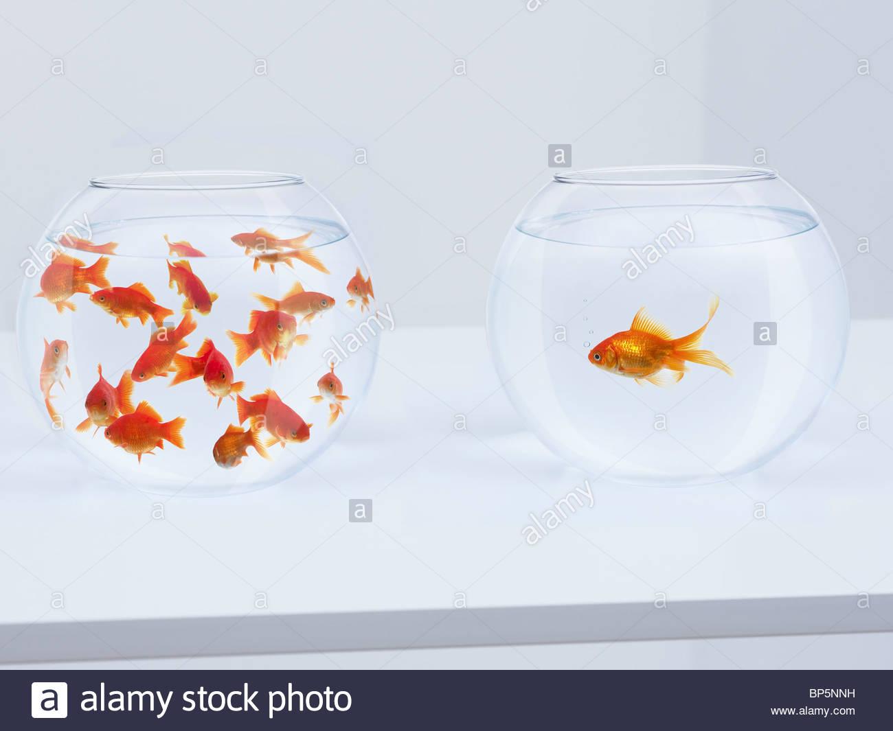 Kontrast von vielen Goldfisch im Goldfischglas und einsame Goldfische in gegenüberliegenden Goldfischglas Stockbild
