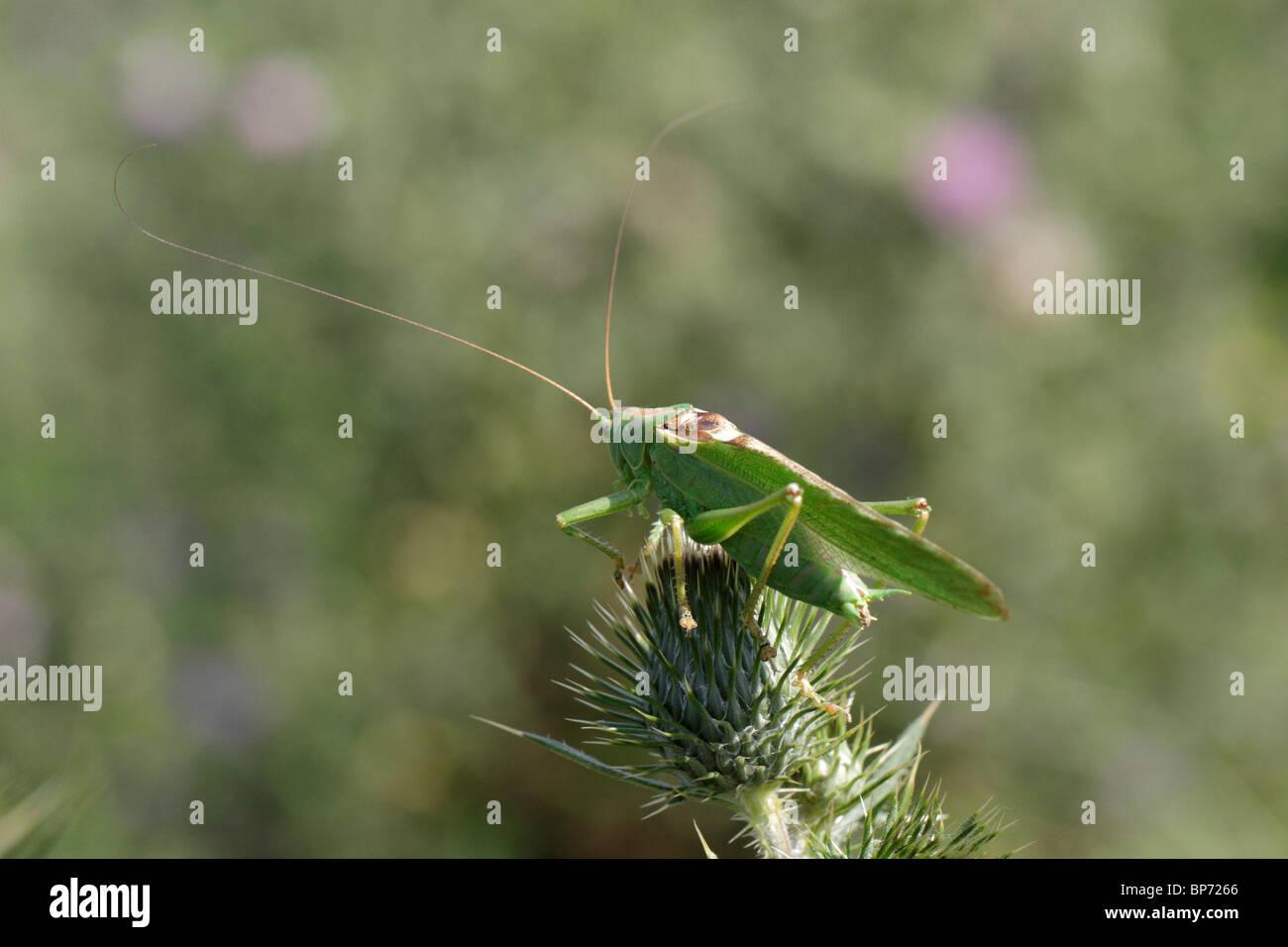 Tettigonia Viridissima, die große grüne Bush-cricket Stockbild