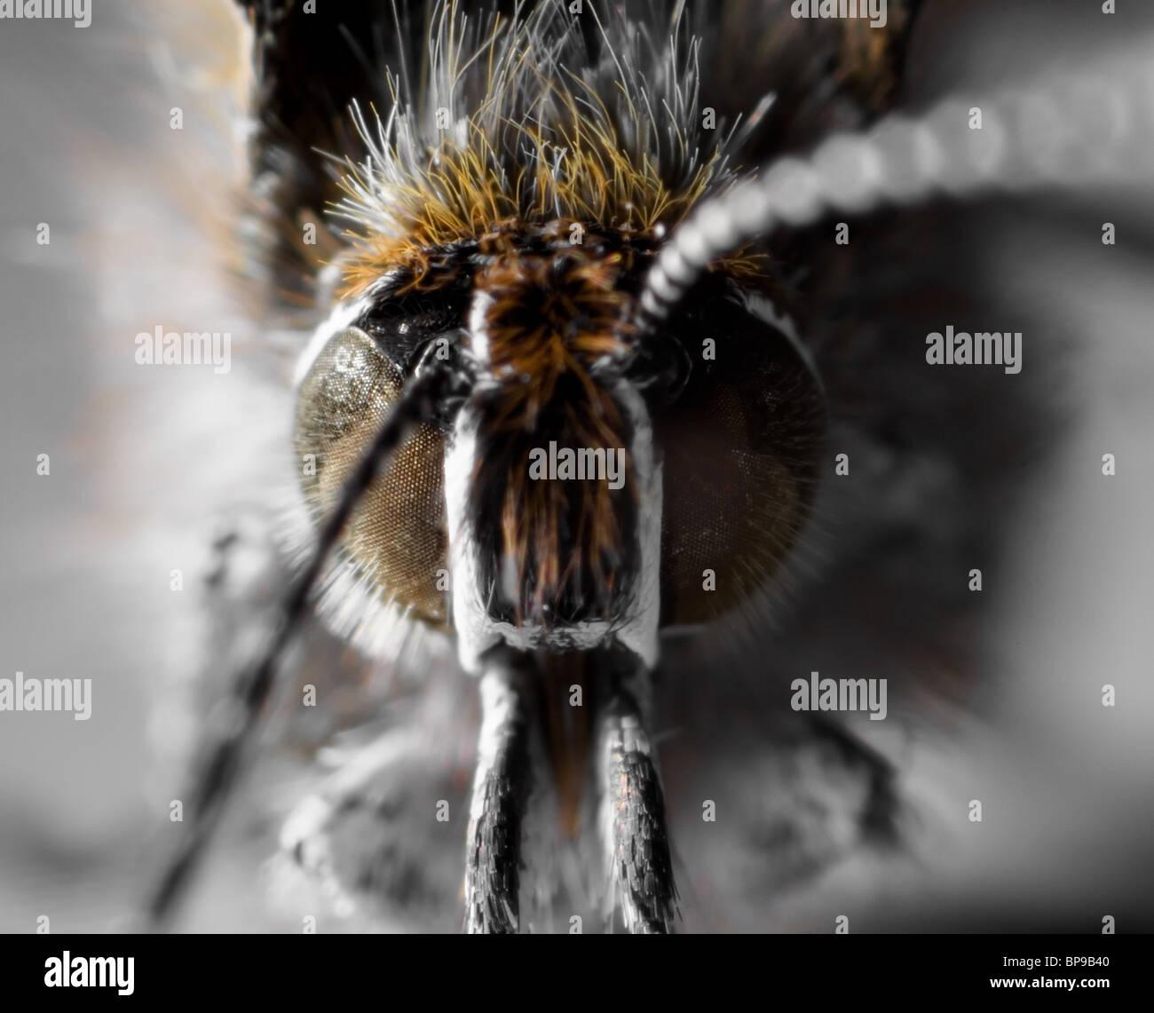 Makroaufnahme eines Schmetterlings Juniper Zipfelfalter Stockfoto