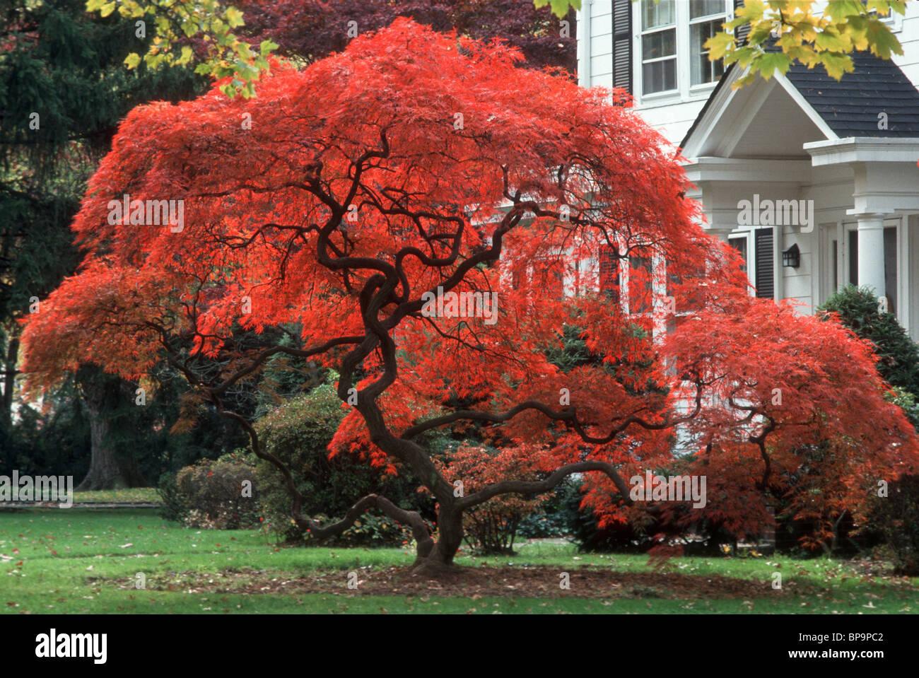 herbst laub japanischer ahornbaum in lodernden rot. Black Bedroom Furniture Sets. Home Design Ideas