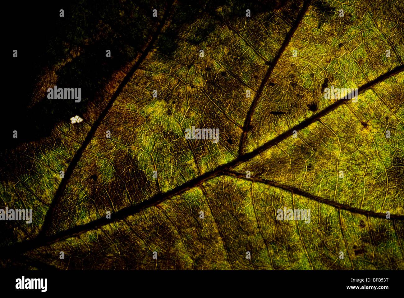 Grunge Blatt Vene, halbe welkes Blatt mit detaillierten Vene. Stockbild