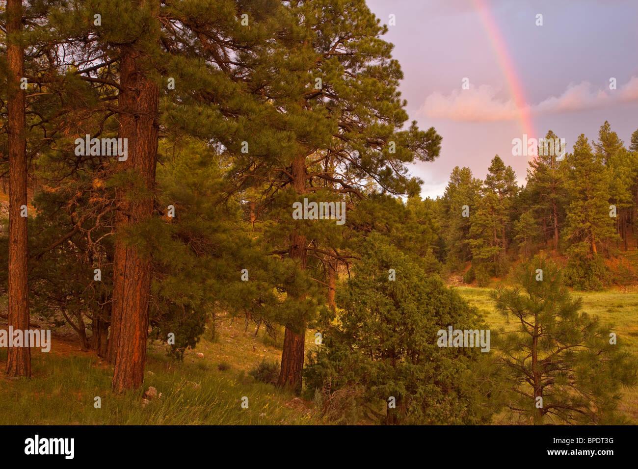 Regenbogen nach Sommer-Gewitter über Ponderosa Pine Forest in Fay Canyon Gebiet, Coconino National Forest, Flagstaff, Arizona Stockfoto