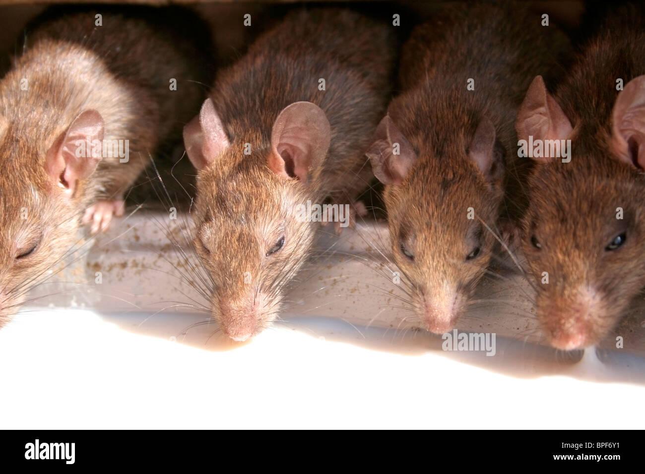 Deshnoke Tempel Ratten. Stockbild