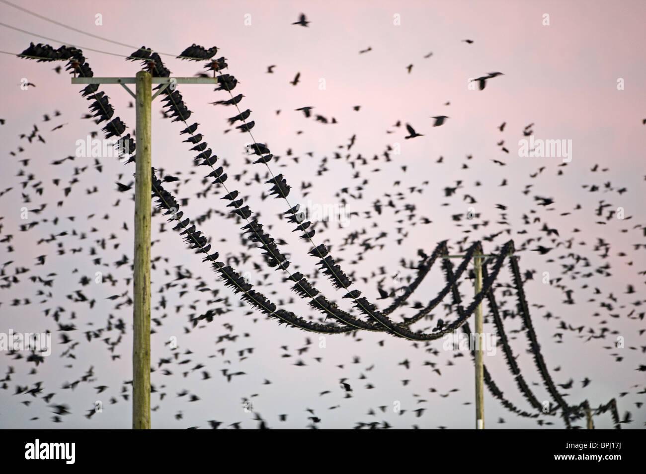 Saatkrähen Corvus Frugilegus in Pre-Schlafplatz sammeln Buckenham Norfolk winter Stockbild