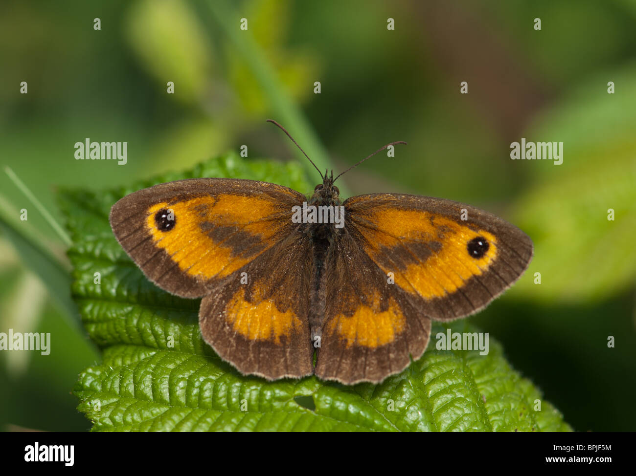 Gatekeeper Butterfly ruht auf einem Blatt Stockbild