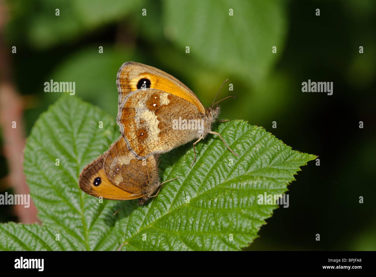 Paar Gatekeeper Schmetterlingen, Paarung Stockbild