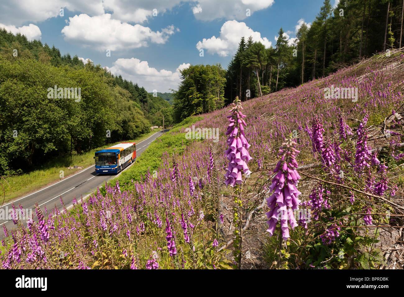 Ortsbus Landstraße durch den Wald des Dekans, Gloucestershire UK vorbei Bank von lila Fingerhut unterwegs. Stockbild