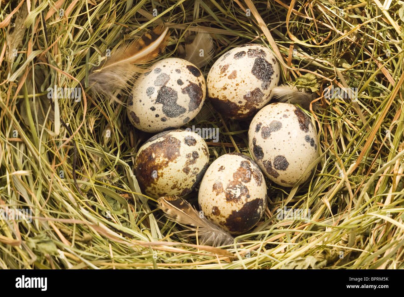 Nahaufnahme von der Wachtel-nest Stockbild