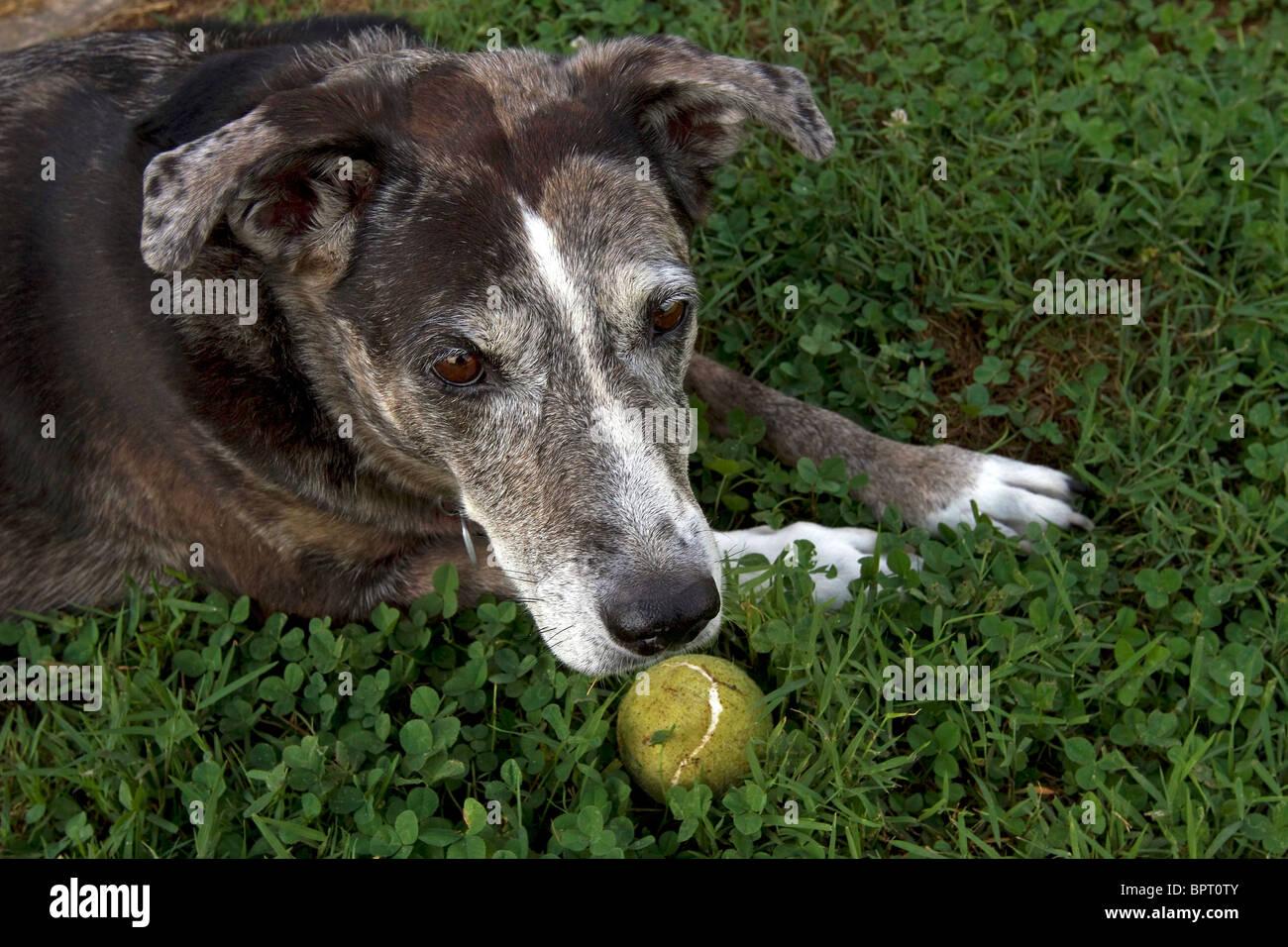 Catahoula Leopard Dog und Tennis ball Stockbild