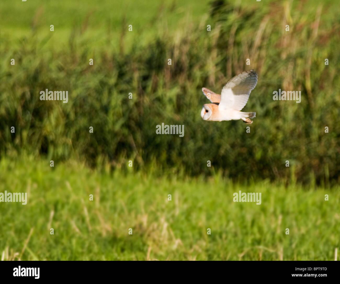Wilde Jagd der Schleiereule über Norfolk Marschland Stockbild