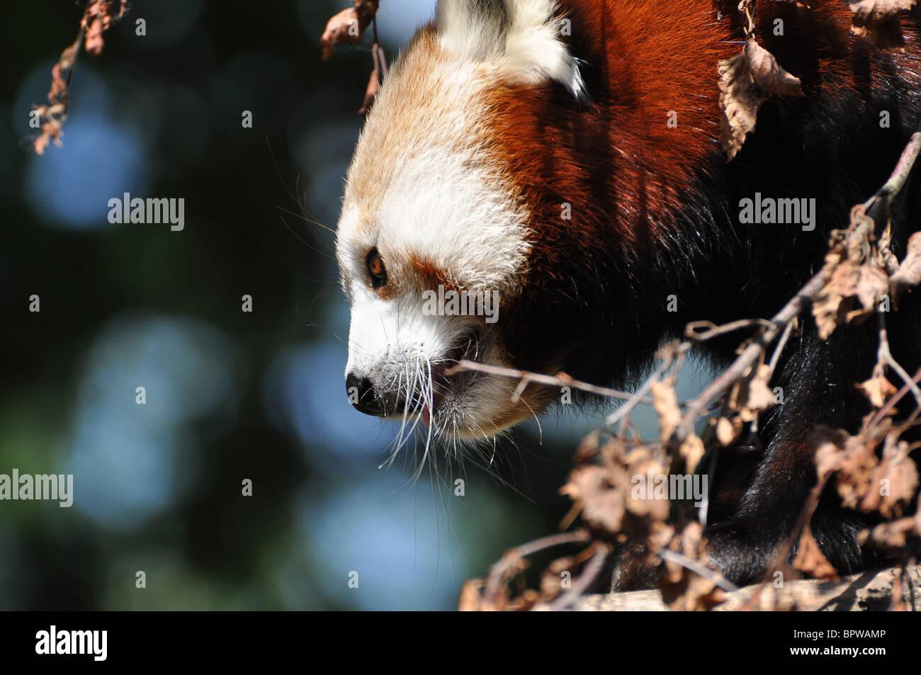 roter panda in dublin zoo irland stockfoto bild 31290022 alamy. Black Bedroom Furniture Sets. Home Design Ideas