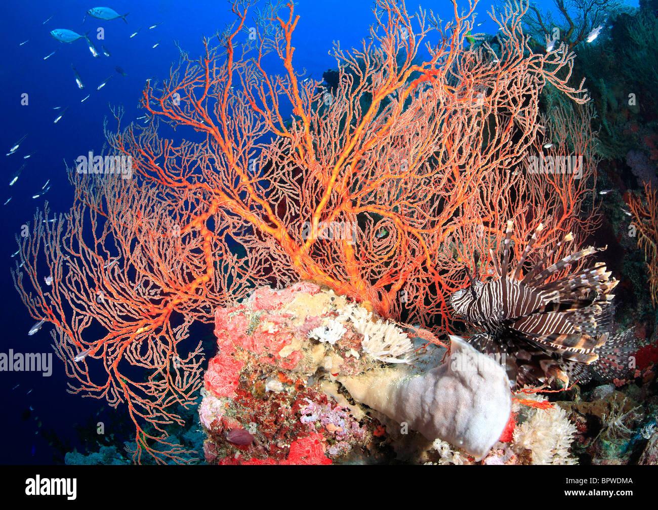 einer bunten Riff-Szene mit roten Meer Fans, tropische Fische und ein Rotfeuerfisch, mit einem blauen Wasser Hintergrund, Stockbild