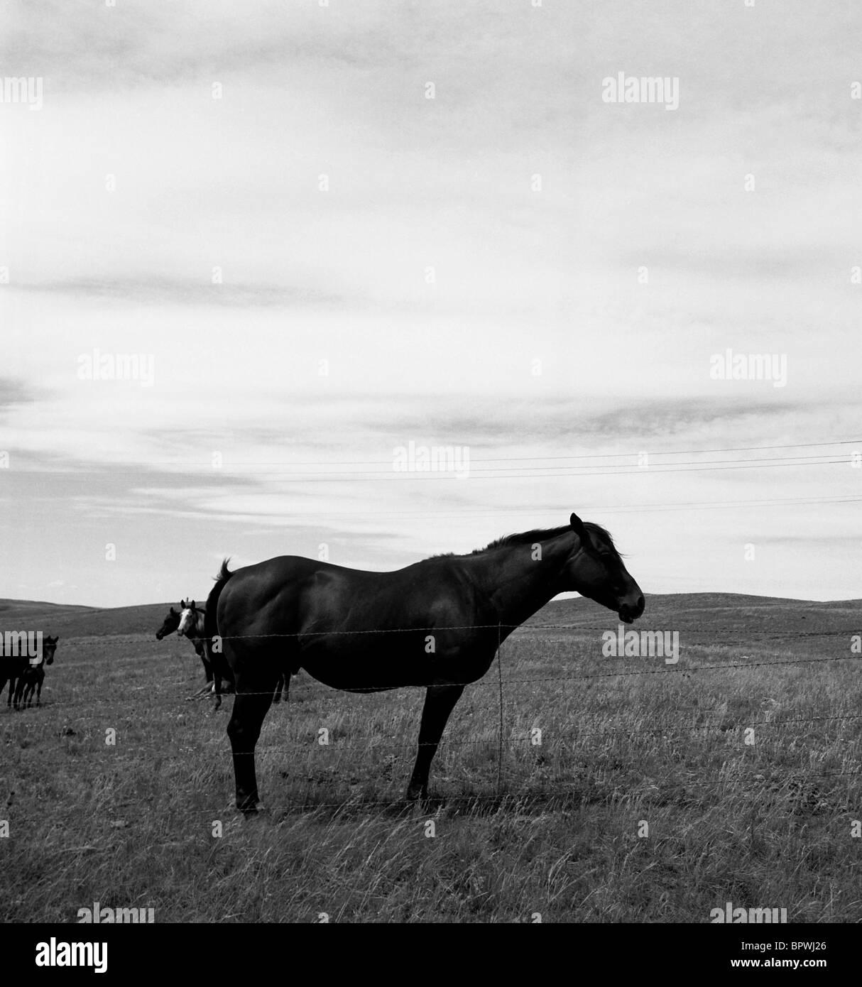 Eine schwarze und weiße, quadratische Bild eines Pferdes steht still. Stockfoto