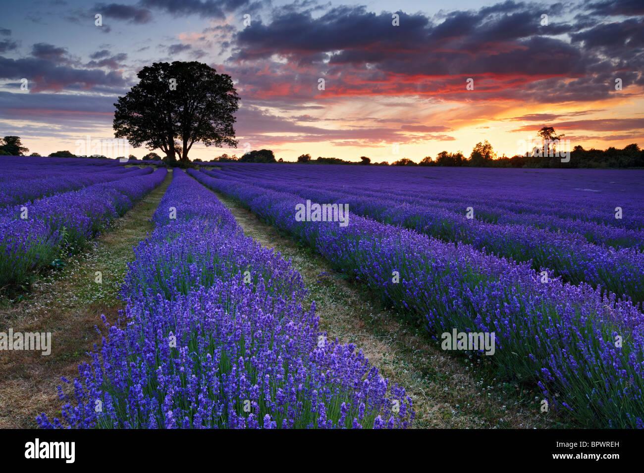 Einen schönen Sommer abends mit Blick auf Lavendelfarm. Stockbild