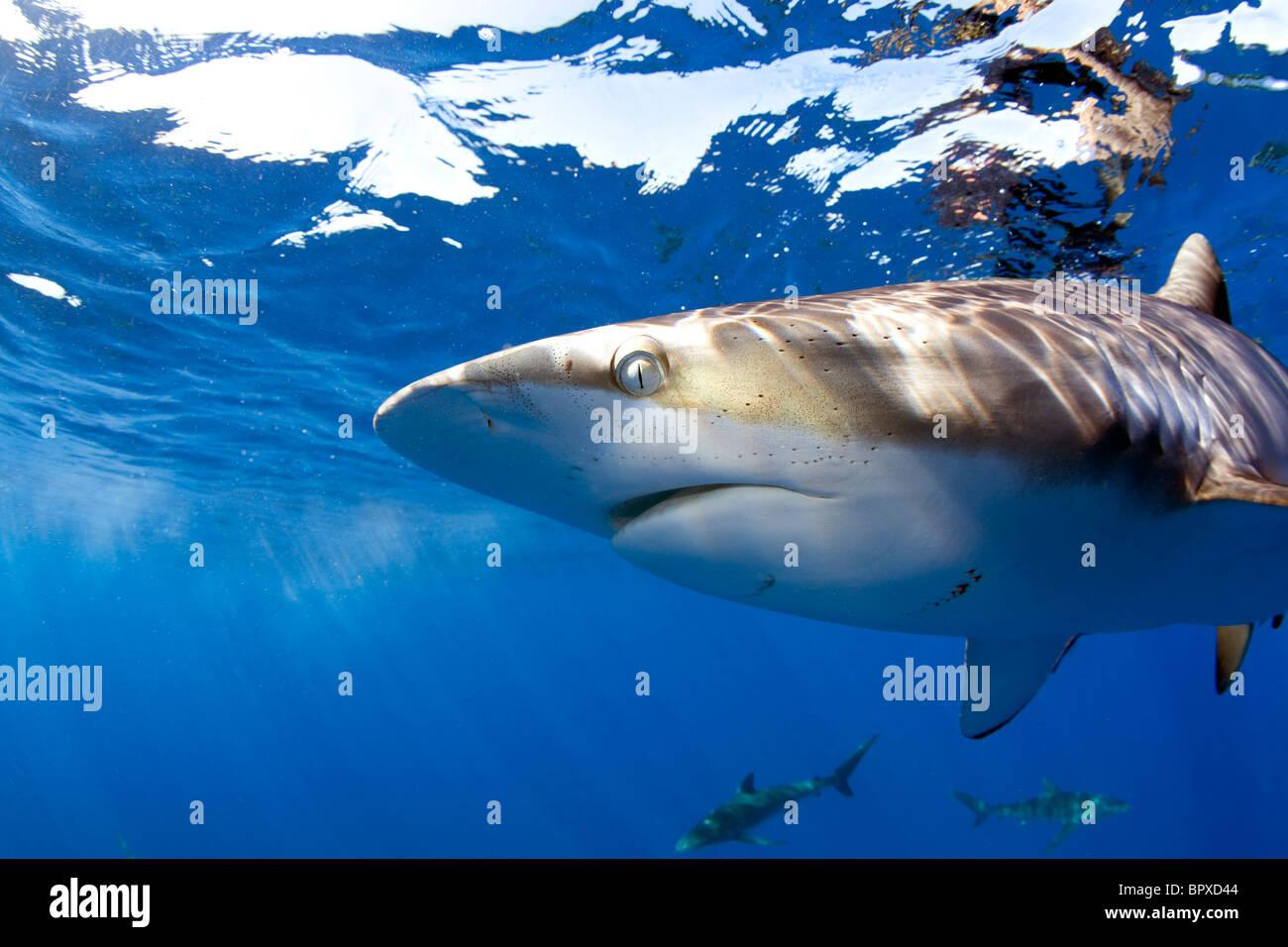 Nahaufnahme von einem seidigen Hai in Kuba. Stockbild