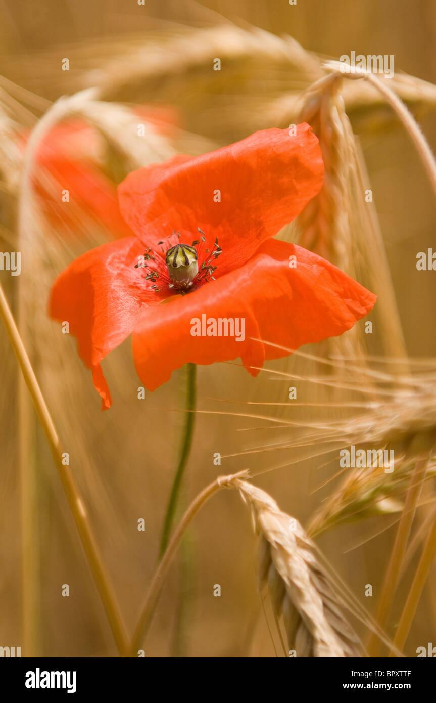 Eine Mohnblume in einem Feld von Gerste im ländlichen Frankreich Stockbild