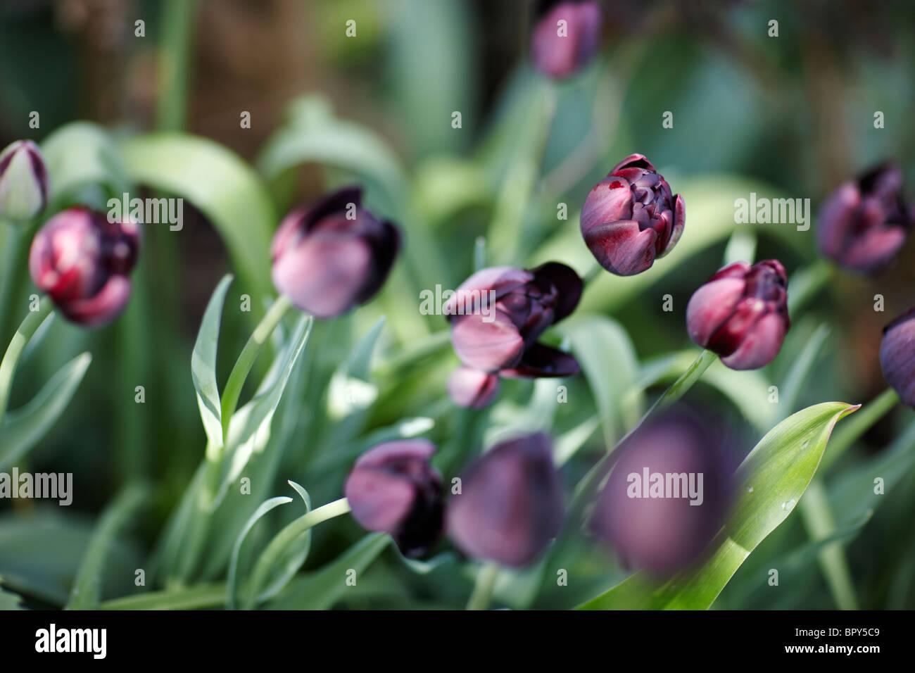 schwarz violette tulpen stockfoto bild 31329769 alamy. Black Bedroom Furniture Sets. Home Design Ideas