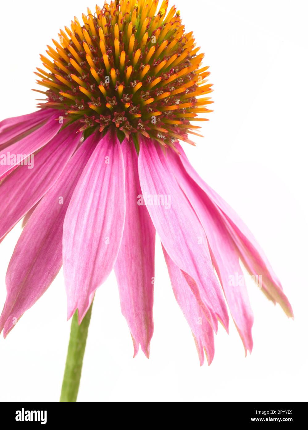 Echinacea Stockfoto