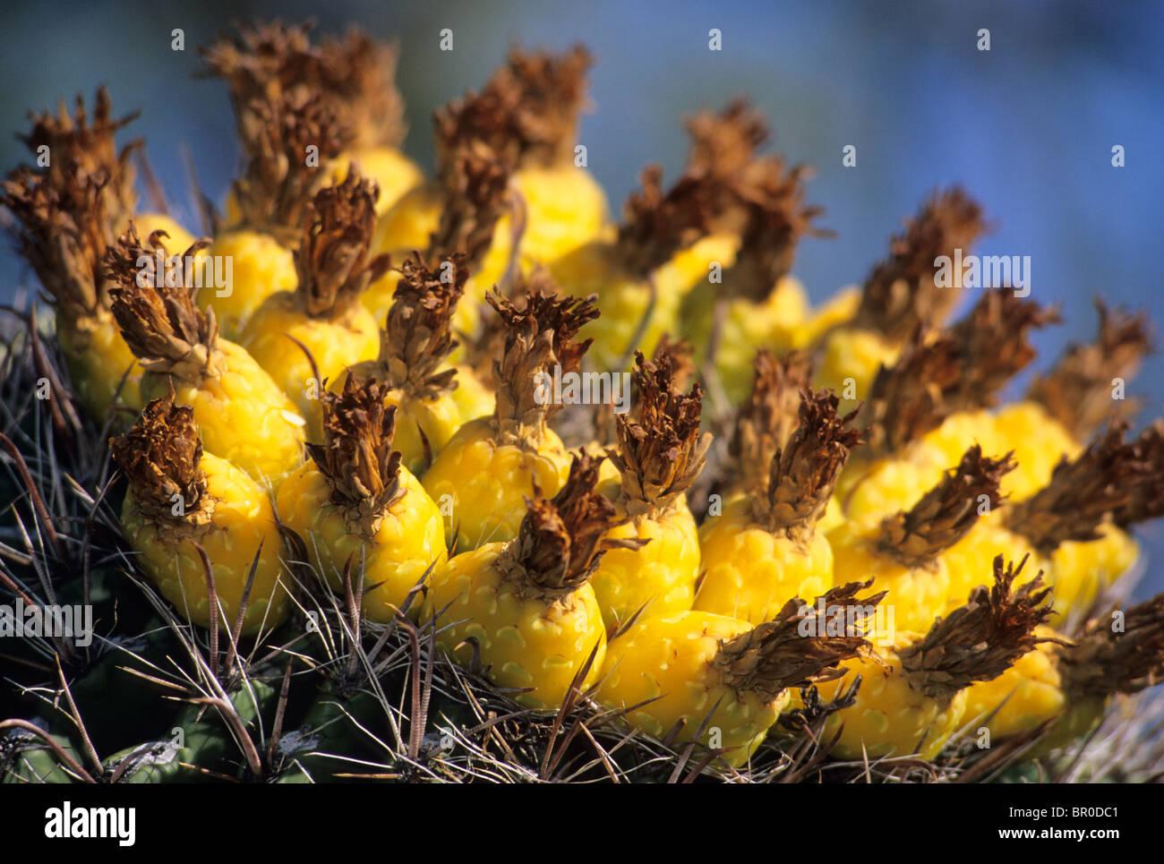 Blühende Barrel Cactus, USA. Stockfoto