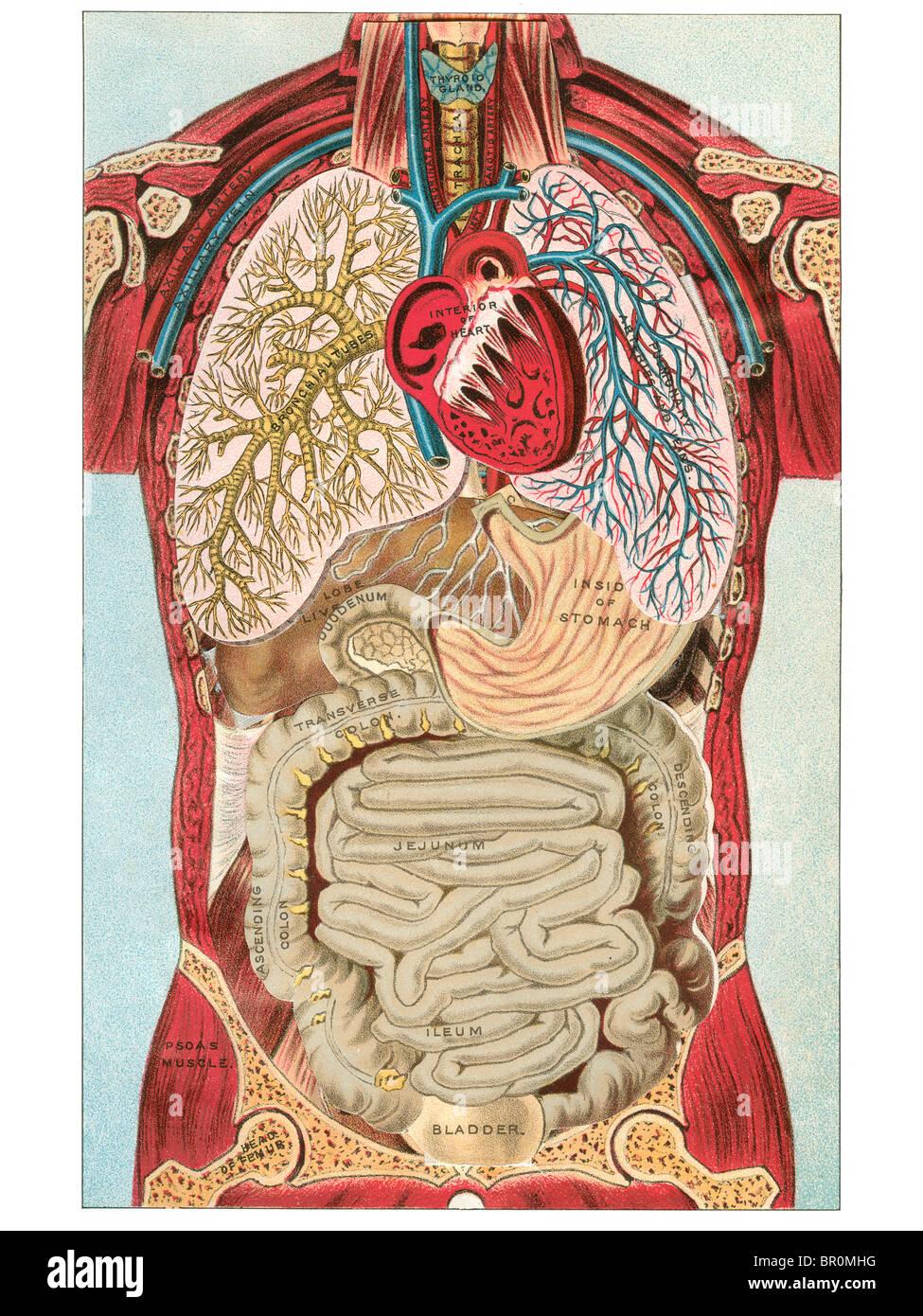 Ein Vintage-Diagramm der verschiedenen internen Organsysteme des ...