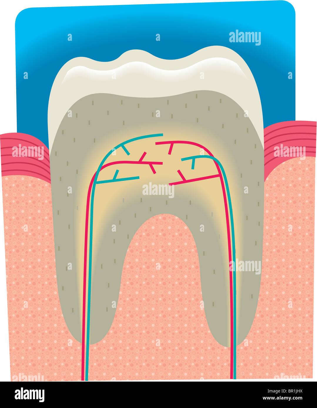 Querschnitt eines Zahnes Stockfoto, Bild: 31384022 - Alamy