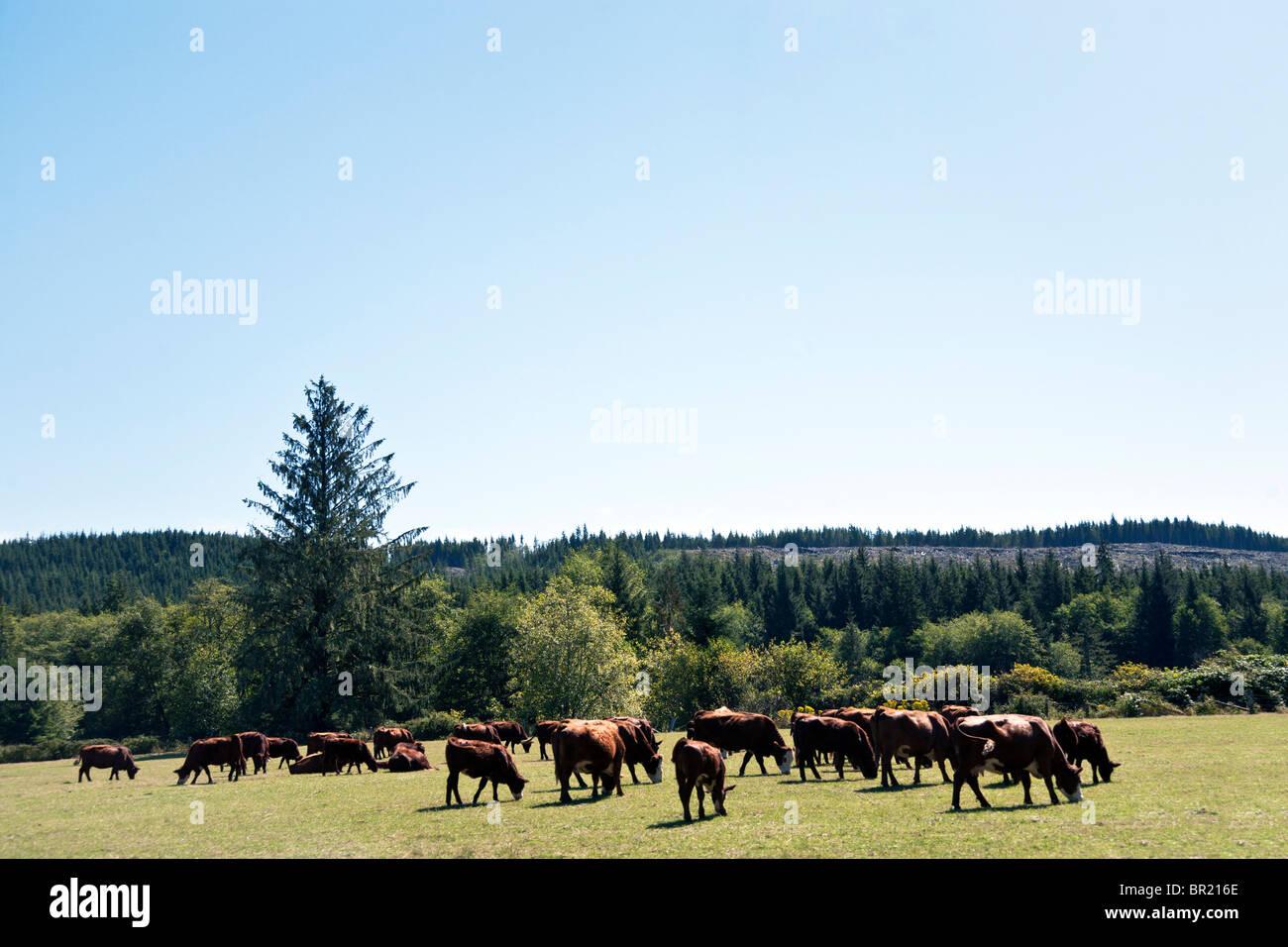 Herde von Braun Hereford Milch-Kühe friedlich weidenden saftigen grüne Wiese mit klaren Schnittholz sichtbar Stockbild