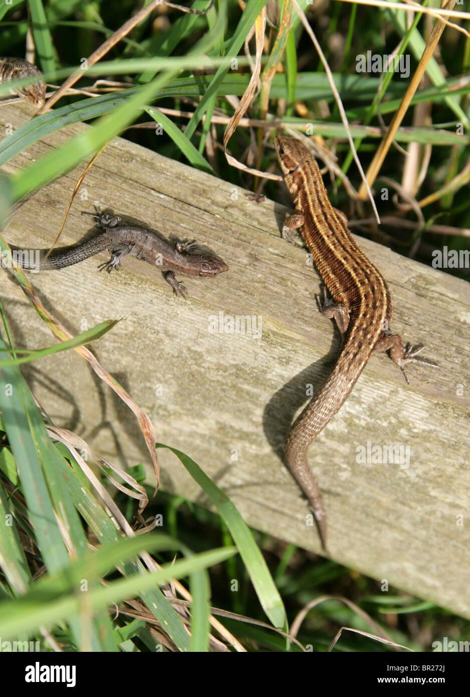 Weibliche und Jugendliche gemeinsame oder lebendgebärend Eidechse, Zootoca Vivipara, Squamata, Reptilia, Lacertidae, Stockfoto