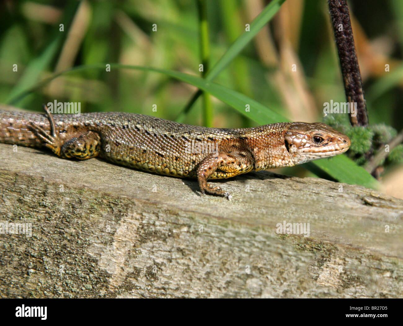Männliche gemeinsamen oder lebendgebärend Eidechse, Zootoca Vivipara, (vormals Lacerta Vivipara), Lacertilia, Squamata, Reptilia, Lacertidae. Stockfoto