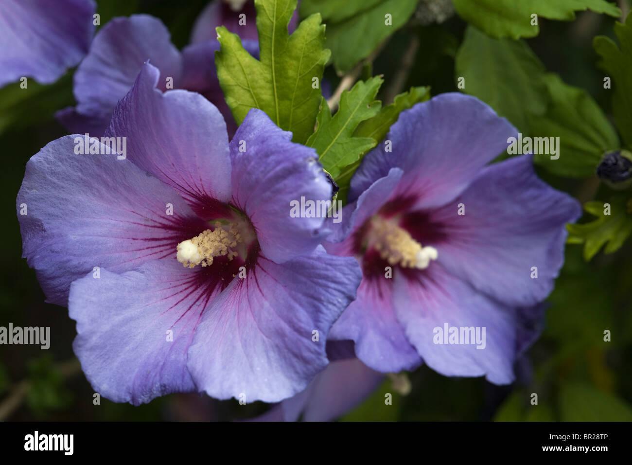 Hibiscus Syriacus Stockfotos Hibiscus Syriacus Bilder Alamy