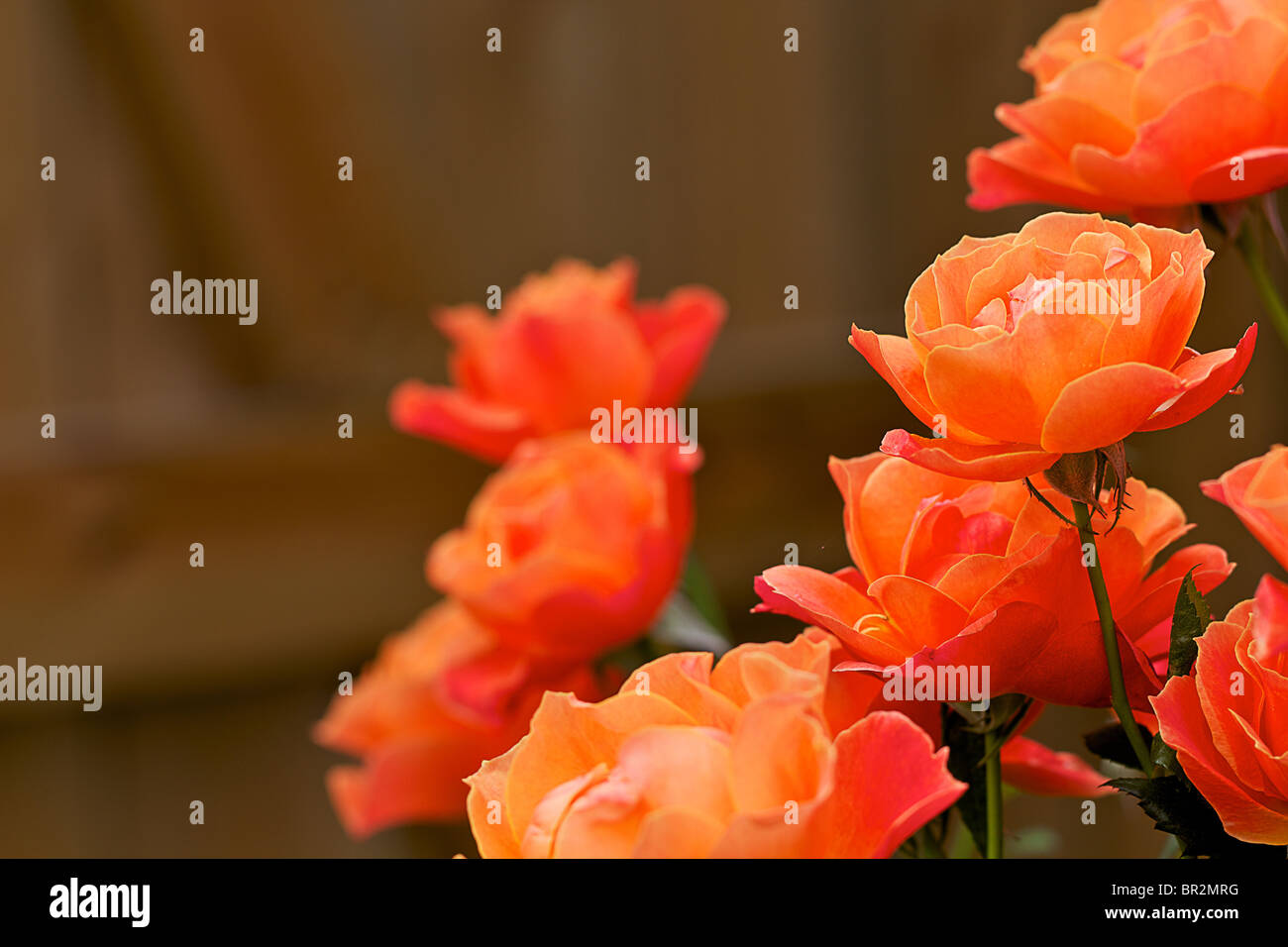 Schöne farbige orange Rosen in Nahaufnahme vor dunklem Hintergrund Stockbild