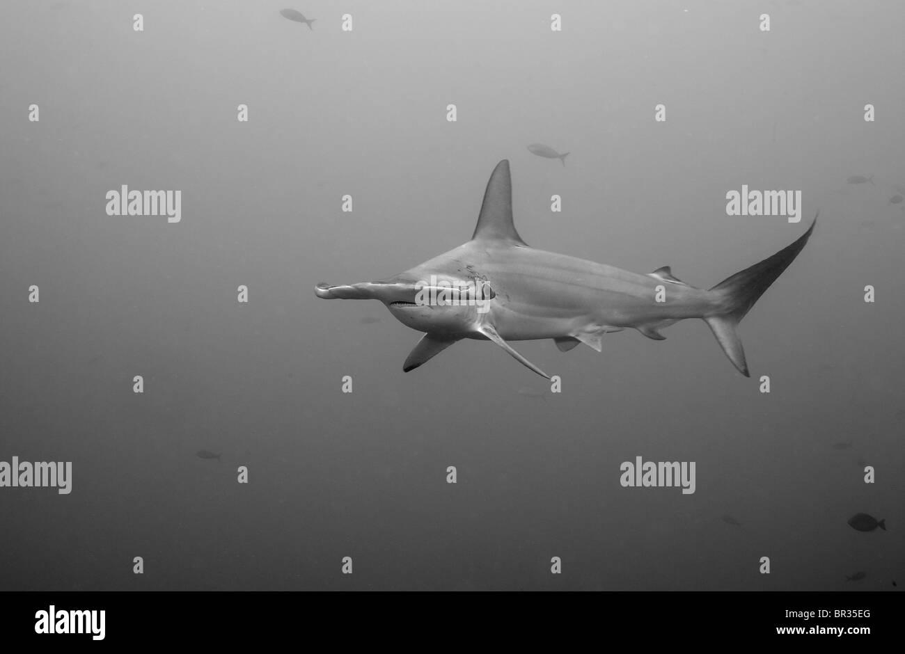 Ziemlich Hammerhai Hai Druckbare Malvorlagen Bilder - Malvorlagen ...