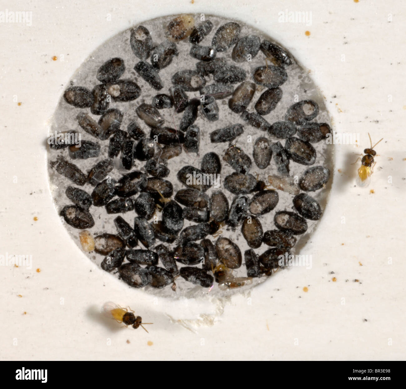 Erwachsenen Encarsia Formosa Wespen geschlüpft auf Karte für den gewerblichen Einsatz in geschützten Stockbild