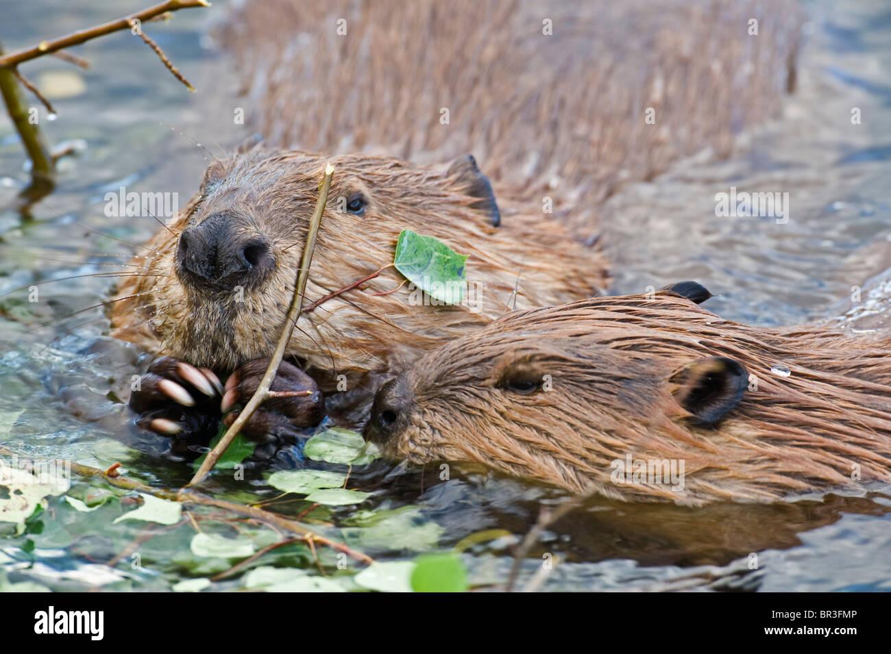 Zwei wilde kanadische Biber in der Wasser-Fütterung Stockbild