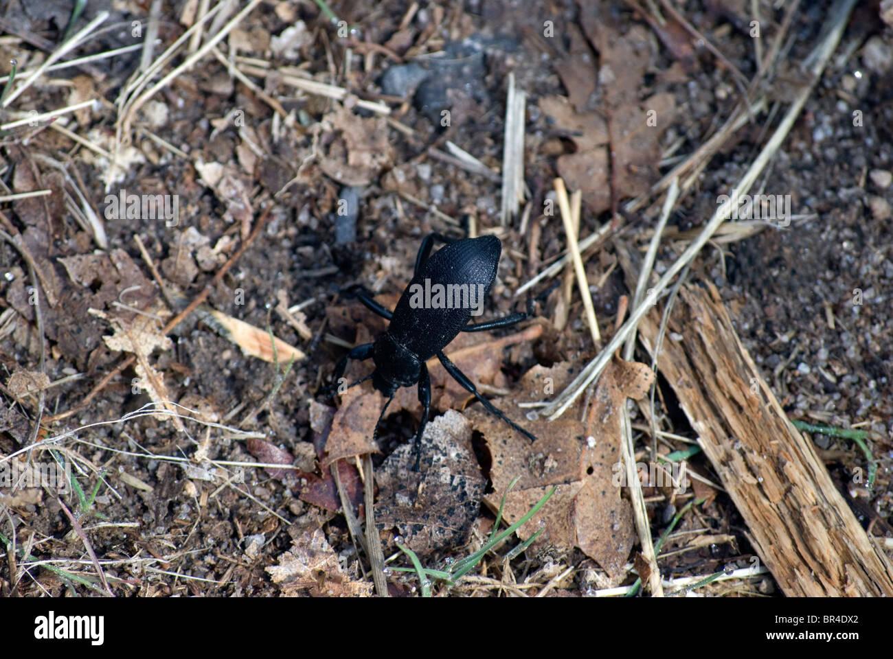 Ein stinken Käfer, bekannt als ein Pincate Käfer, (Eleodes Obscurus) mit angehoben Bauch in Reaktion auf Stockbild