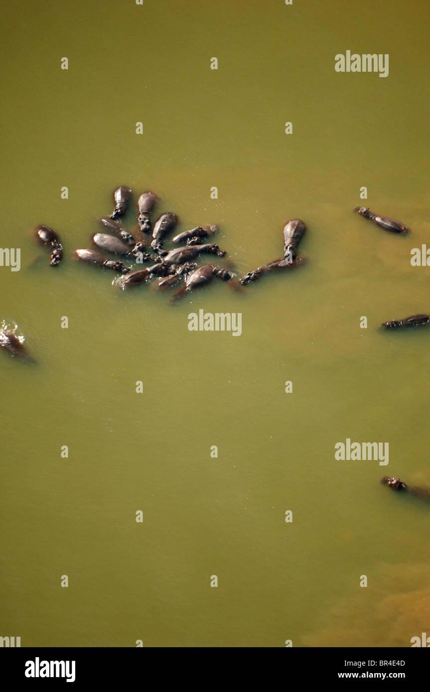Luftaufnahme von Flusspferden in einem See. Stockfoto